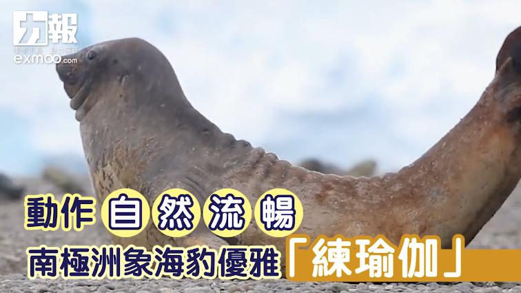 南極洲象海豹優雅「練瑜伽」